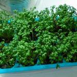 кресс-салат выращивание