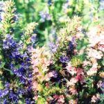 цветы иссопа