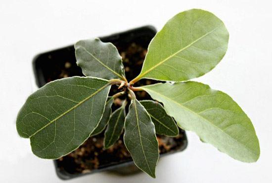 Лавровое дерево в горшке