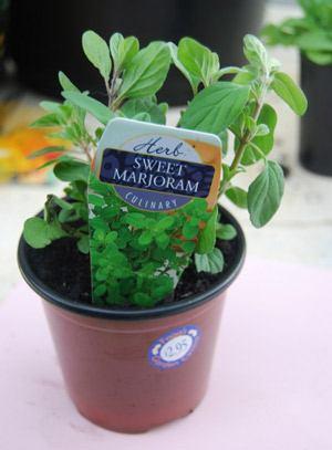вырастить майоран из семян
