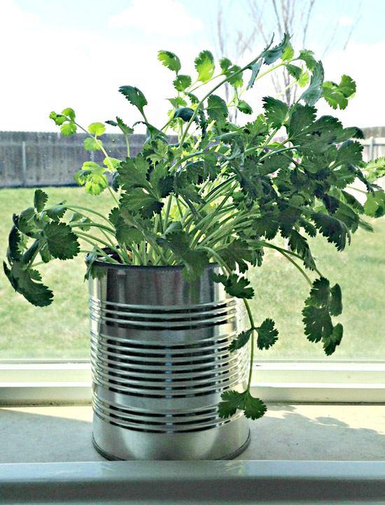 вырастить кинзу из семян