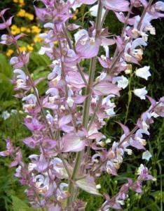 шалфей мускатный цветение