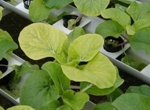 Дефицит серы у растений