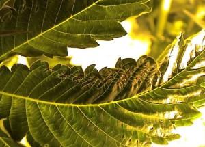 Дефицит фосфора у растений