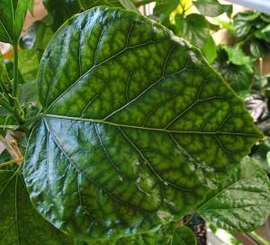 Дефицит магния у растений