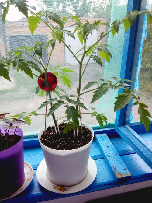 помидор в вазоне