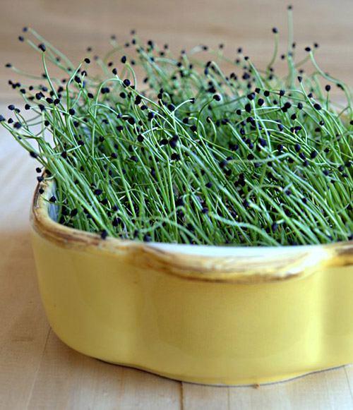 микрозелень лука