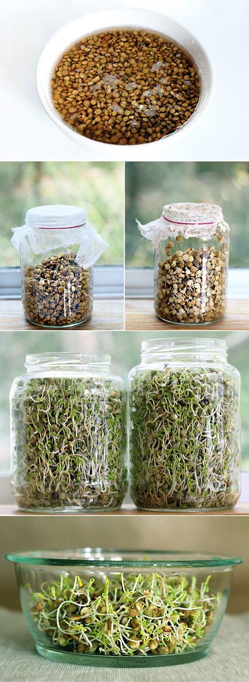 как прорастить семена бобы зерна