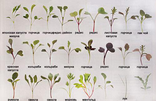 виды микрозелени