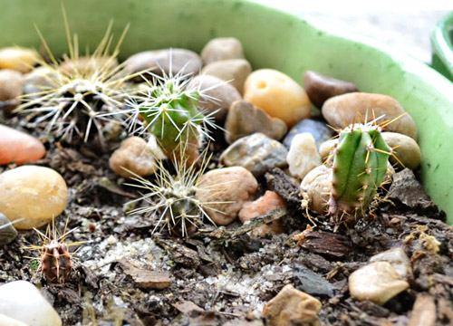 kaktusy_iz_semjan1