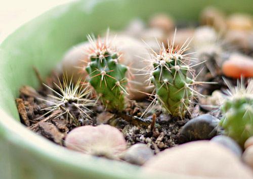 kaktusy_iz_semjan2
