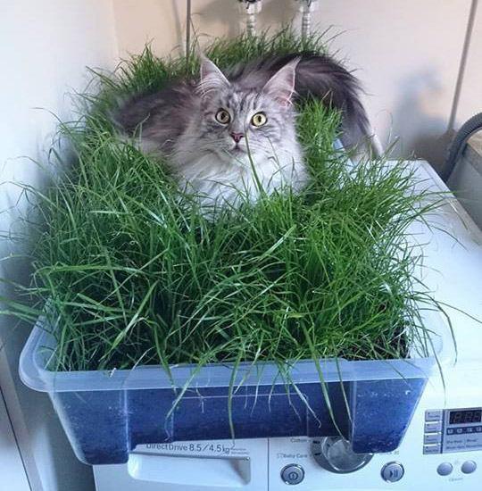 koshachya-trava