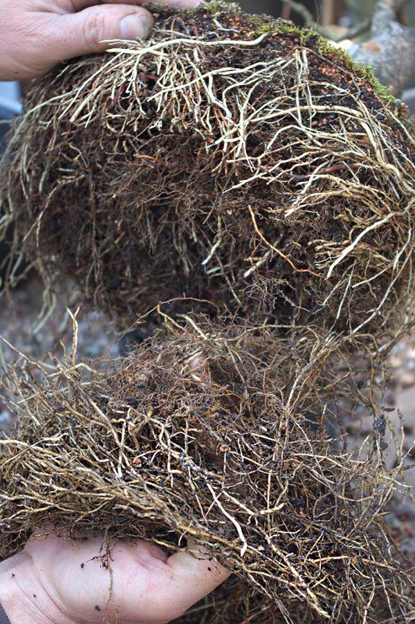 Обрезка корней при пересадке