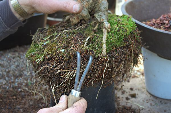 Очистка корней от старой почвы