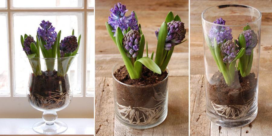 Пересадить гиацинт в вазу