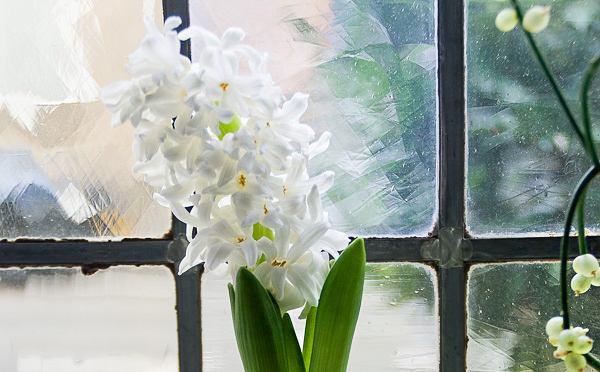 Выращивание гиацинтов в вазе