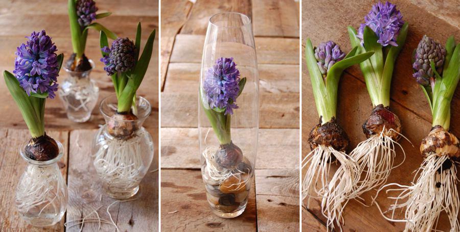 Вырастить гиацинт в вазе с водой