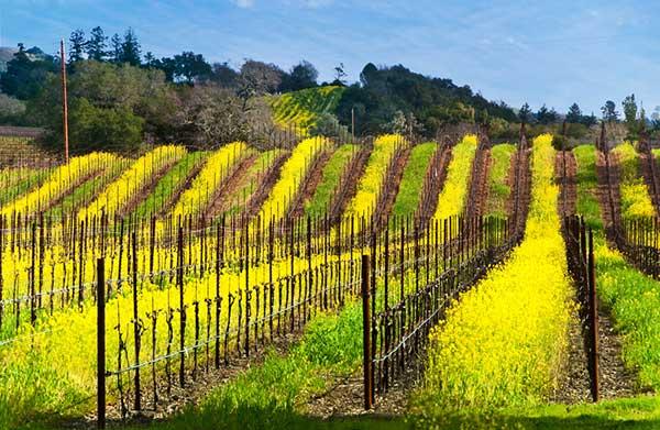 Горчица на склоновых виноградниках