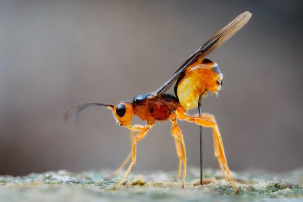 Полезное насекомое оса-наездница
