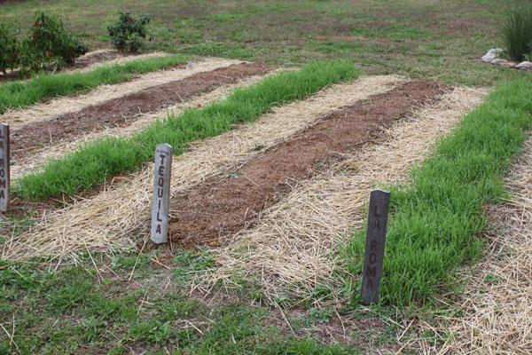Как выращивать сидераты