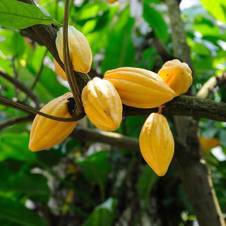 Как вырастить какао дерево в любой природной зоне