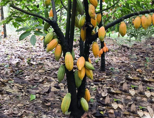 Какао дерево: родина, где растут какао бобы, цветок, сорта