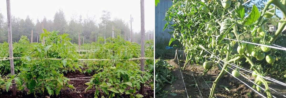 Японский метод подвязки томатов